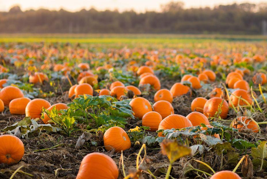 Cultivo de calabazas, alimento de temporada (bigstock)