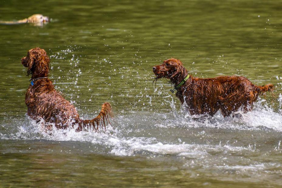 bigstock Razas de perro de agua